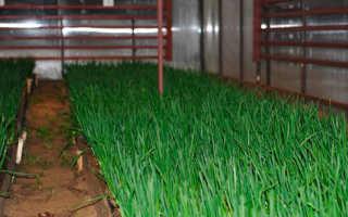Выращиваем зеленый лук дома в больших количествах
