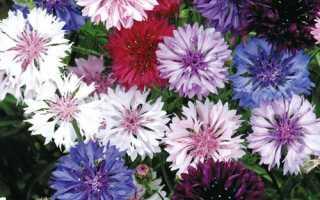 Как выращивать васильки в домашних условиях?