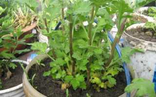 Выращиваем хризантемы из семян в домашних условиях