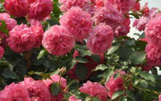 Вьющиеся розы лучшие сорта