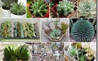 Как выращивать суккуленты из семян в домашних?