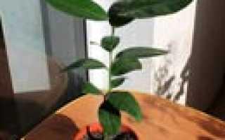 Как выращивать декоративную розу в домашних условиях?