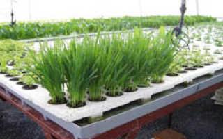 Как правильно выращивать зелень в зимней теплице?