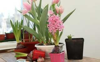 Как выращивать тюльпаны круглый год в домашних условиях?