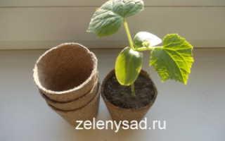 Как выращивать рассаду огурцов в торфяных горшочках?
