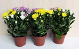 Как выращивать хризантемы в домашних условиях в горшке?