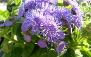 Агератум можно ли выращивать как комнатное растение