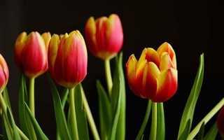 Как выращивать тюльпаны в домашних условиях в вазе?