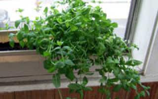 Как в домашних условиях выращивать мяту в?