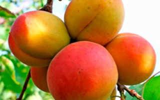 Какие сорта абрикосов можно выращивать в подмосковье?