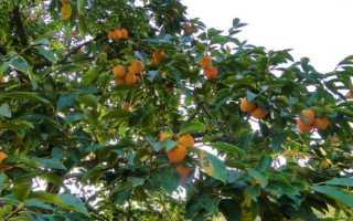 Как выращивать в домашних условиях хурму?