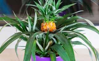 Как правильно выращивать ананас в домашних условиях?