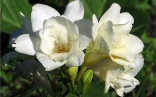 Можно ли выращивать фрезию как комнатное растение?