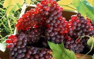 Какой сорт лучше винограда?