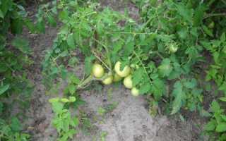 Как правильно выращивать помидоры в открытом грунте?