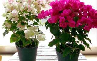 Как выращивать бугенвиллию в домашних условиях?