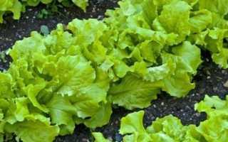 Как выращивать латук в домашних условиях?