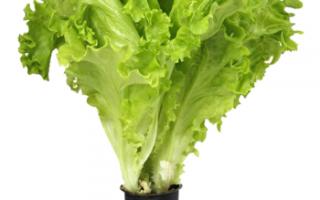 Салат листовой афицион как выращивать в домашних условиях