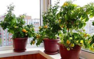Как правильно выращивать помидоры на подоконнике?