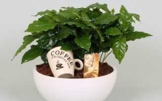 Как выращивать кофе в домашних условиях болезни?