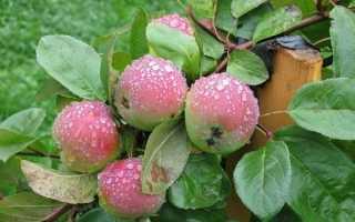 Какие сорта яблонь лучше?