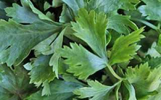 Как выращивать сельдерей корневой в домашних условиях?