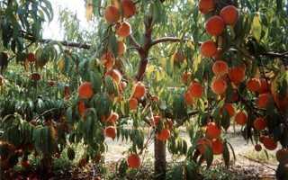 Какие персики лучше выращивать в средней полосе россии?