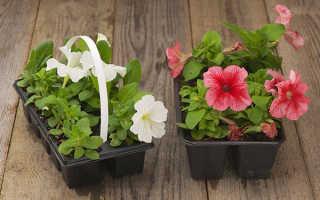 Как выращивать рассаду петунии в домашних условиях?