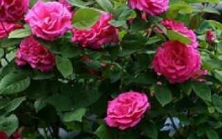 Можно ли выращивать плетистую розу как почвопокровную?