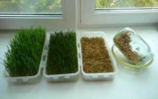 Как правильно выращивать пшеницу в домашних условиях?