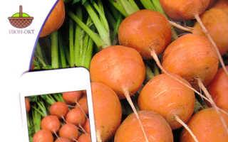 Лучшие сорта озимой моркови