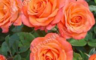 Миниатюрные розы лучшие сорта