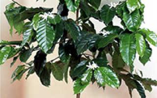 Как выращивать кофейное дерево в домашних?