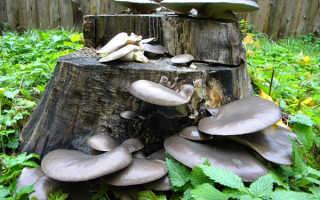 Как выращивать грибы вешенки в домашних условиях на пнях?