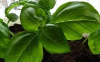 Как выращивать базилик в домашних условиях из семян зимой?