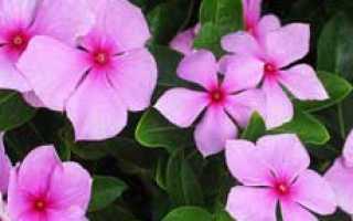 Можно ли выращивать катарантус как комнатное растение?