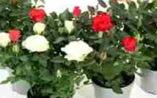 Как выращивать розы в домашних?