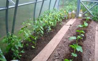 Можно ли в одном парнике выращивать огурцы и перцы?