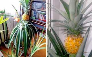 Выращиваем манго из косточки в домашних условиях
