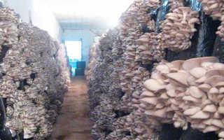 Как выращивают грибы вешенки в промышленных масштабах?
