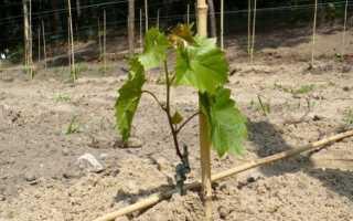 Как начать выращивать виноград в домашних условиях?