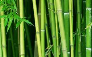 Как выращивать бамбук в домашних условиях из семян?
