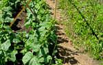 Как выращивать огурцы в открытом грунте подвязывать или нет?
