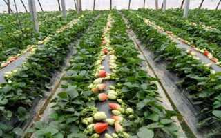 Какой сорт клубники лучше выращивать в краснодарском крае?
