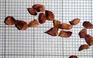 Как выращивать кипарис в домашних условиях из семян?