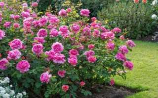 Лучшие сорта розы остинки