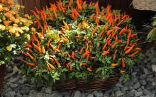 Как выращивать декоративный перец в домашних условиях?