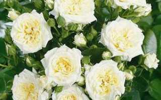 Белая роза лучшие сорта