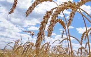 Где выращивают зерновые культуры в краснодарском крае