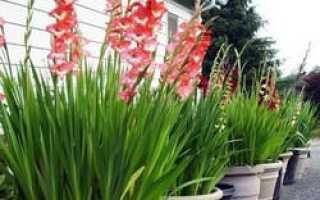 Как выращивать гладиолусы из деток в домашних условиях?